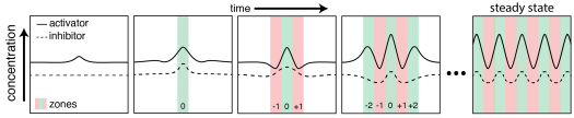 Schematic of how a stripe pattern forms in a reaction-diffusion system