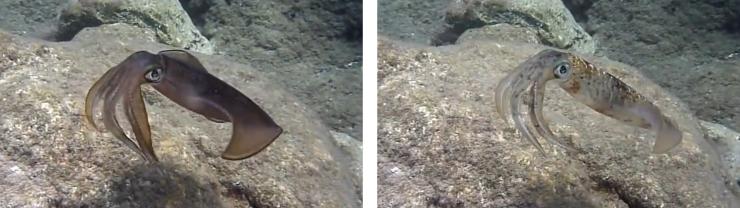 SquidCamouflage (1)