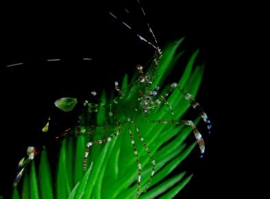 transparent-shrimp