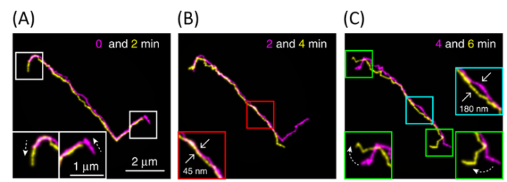 Fluorescent images of a linear DNA chain collected at different time points